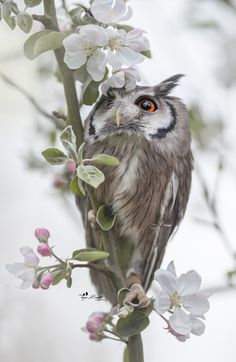 Owl in a blooming tree Owl Photos, Owl Pictures, Beautiful Owl, Animals Beautiful, Owl Bird, Pet Birds, Animals And Pets, Cute Animals, Photo Animaliere