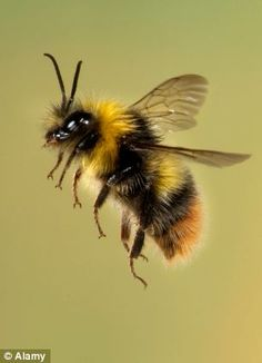 Plight of the shrinking bees: Experts suggest widely used pesticide could be responsible for smaller insects Experts suggest pesticides could be responsible for smaller worker bumblebee Small Insects, Bugs And Insects, Flying Insects, Beautiful Bugs, Animals Beautiful, Photo Animaliere, Bee Photo, I Love Bees, Bees And Wasps