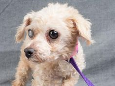 Adopt Lollipop, a lovely 5 years Dog available for adoption at Petango.com.  Lollipop is a Poodle, Toy and is available at the National Mill Dog Rescue in Colorado Springs, Co.  www.milldogrescue.org #adoptdontshop  #puppymilldog   #rescue  #adoptyourfriendtoday
