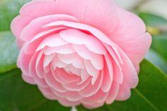Beautiful camellia petal