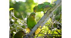 Golden-tailed Parrotlet (Touit surda)