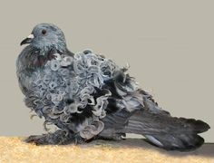 Frillback pigeon; Sport curls on the wing feathers gave Frillback pigeon most extra ordinary look on their appearance. This curls feather is very important for them and serious business to win the pigeon show competition. In my point of view,.....