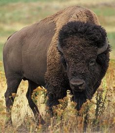 American Buffalo | ... http://www.nicholyn.com/ so tonight for dinner we had Buffalo burgers