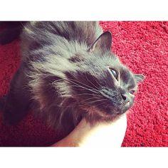 キャプション→うちの子たちは私の脚を枕だと思っていることが判明。いつでも枕に使ってください、どうぞ♡#桜#マンチカン#munchkin#猫#cat#cats#ねこ#にゃんこ#もふもふ#モフモフ#猫部#instacat#catstagram#cute#mysweetie#カメラ#カメラ女子#カメラ好きな人と繋がりたい#カメラ部#ファインダー越しの私の世界#ファインダー越しの世界 #ファインダー越しのあなたの世界#ファインダー#写真好きな人と繋がりたい#写真撮ってる人と繋がりたい#写真好き#写メラマン ユーザー→poisson_des_abysses 場所→