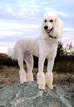 Photo of the Standard Poodle standing against a beautiful blue sky and white clouds.