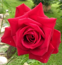 Красная роза 🌹