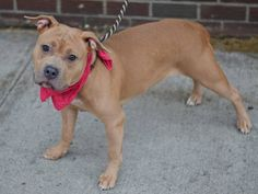 SAFE 12/26/14 --- Brooklyn Center  HILDA - A1022166 ***SAFER: AVERAGE HOME***  FEMALE, TAN, PIT BULL MIX, 3 yrs STRAY - STRAY WAIT, NO HOLD Reason STRAY Intake condition EXAM REQ Intake Date 12/02/2014, From NY 11693, DueOut Date 12/05/2014 Main Thread: https://www.facebook.com/photo.php?fbid=918112808201599