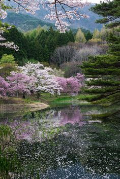This is spring of Japan. Clear pink cherry blossoms are blooming in the mountains of Japan. Cherry blossoms reflected on the surface of the water are more beautiful.