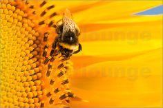 Edith Albuschat - Eine Hummel sitzt auf einer Sonnenblume