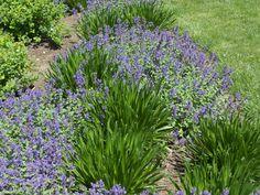 Calamintha nepeta ssp. nepeta, Seslaria autumnalis or Limonium latifolium./ 'Summer Beauty' Allium | Louisiana Gardener Hot Plants