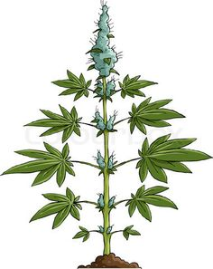 Image of 'Cannabis'