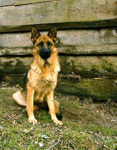 German shepherd by adasinh