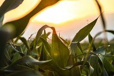 #agriculture #cereals #corn #cornfield #field #nature #sun