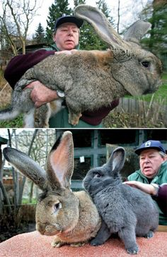 Meet Robert, a German Grey Giant. He weighs more than Cute Bunny Pictures, Animal Pictures, Funny Cats And Dogs, Big Dogs, Cute Baby Animals, Funny Animals, Flemish Giant Rabbit, Rabbit Habitat, Beautiful Rabbit