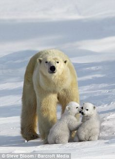 a polar bear looks out for its two youngsters in the snow