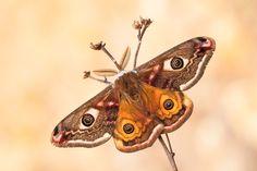 Insekt Kleines Nachtpfauenauge Makro Saturnia pavonia Schmetterling