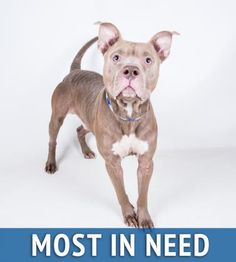 WALDEN - URGENT - Dekalb County Animal Shelter in Decatur, Georgia - ADOPT OR FOSTER - 3 year old Male Pit Bull Terrier Mix