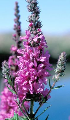 Purple Loosestrife is considered an invasive species in Michigan. There's only one on my back yard. Romantic Flowers, Wedding Flowers, Purple Loosestrife, Vegetative Reproduction, Seed Dispersal, Alien Plants, Bog Garden, Invasive Plants, Free Plants
