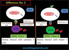 What is the difference between MHC Class I and MHC Class II?