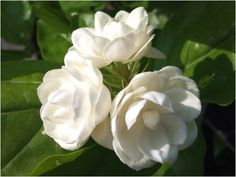 sampaguita (aka arabian jasmine), the flower of the philippines.  very pretty, strong fragrance.