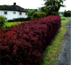 Blodberberis Berberis thunbergii `Atropirpirea` : En kontrastplante som gir liv i hagen med sitt mørkt purpurfargete bladverk som veksler til lys rød på høsten og våren. Unge skudd i god vekst har de fineste rødfarger, derfor beskjæres den med fordel ofte. En klipt eller fritt voksende hekk av blodberberis på en solrik plass vil være en flott og effektiv barrierevekst mot uønsket trafikk