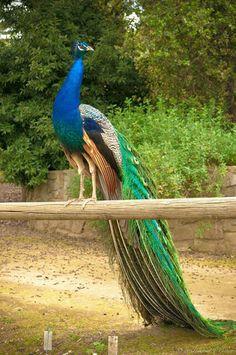 India-Blue Peacock: Pavo cristatus