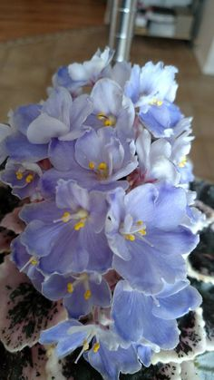 K's Sage Wand | New for 2015. Unregistered.  African Violet. Photo by Kathy Hajner.