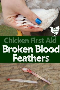 pulled blood feathers broken wing feathers #chickens #raisingchickens