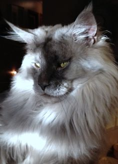 Interested in owning a Maine Coon cat and want to know more about them? We've made this site to tell you all you need to know about Maine Coon Cats as pets Pretty Cats, Beautiful Cats, Animals Beautiful, Cute Animals, I Love Cats, Crazy Cats, Cool Cats, Maine Coon Kittens, Cats And Kittens
