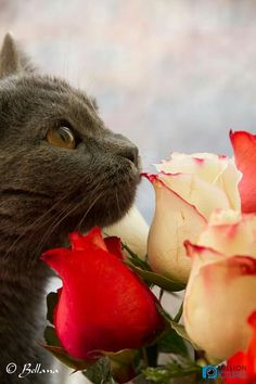 gray cat with roses