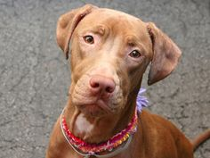 SAFE --- SUPER URGENT - 10/29/14 Manhattan Center   My name is LENOX. My Animal ID # is A0997577. I am a spayed female chocolate and white vizsla mix. The shelter thinks I am about 1 YEAR 2 MONTHS old.  I came in the shelter as a OWNER SUR on 10/12/2014 from NY 10029, owner surrender reason stated was INAD FACIL.  https://www.facebook.com/photo.php?fbid=894672000545680