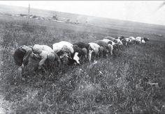 Советская власть в Украине.  Пионеры-ленинцы собирают в поле колоски, г.Сталино (Юзовка, Донецк), 1934 год