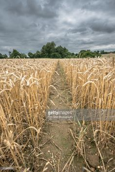 A view of a path through a wheat with a stormy sky, Essex, England.