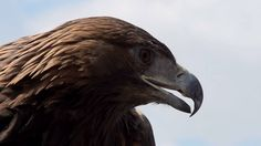 Golden Eagle Spread Its Wings. Slow Motion At A Rate Of 480 Fps. Golden Eagle Spread Its Wings And Turned Away From The Camera On The Background Of Cloudy Sky Stock Footage Video 6797941 - Shutterstock