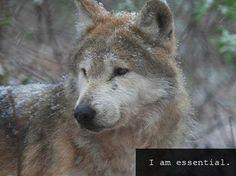 Red Wolf Found Dead on Arizona Reservation--Wolfwatcher Photo