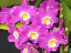 dendrobium nobile Oriental Smile    mudas de orquídea dendrobium nobile oriental…