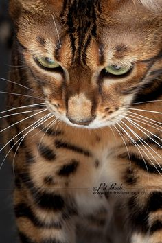 No home is complete without a Bengal. I love mine <3 They are a lot of work and require constant attention but are extremely affectionate and intelligent. Kind of like a toddler/monkey wrapped up in one!