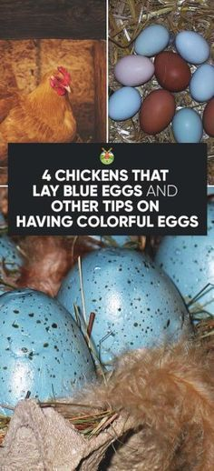 Chicken Breeds That Lay Blue, Green, Pink, White, and Other Egg Colors.