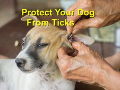Apart from the blood-sucking, ticks present danger to not only your dog's health but also you. Wood Animal, Ticks, Your Dog, Blood, Pets, Health, Animals, Animals And Pets, Animales