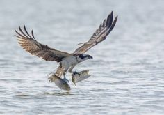 This Is Why The Osprey Might Be the World's Best Fisherman