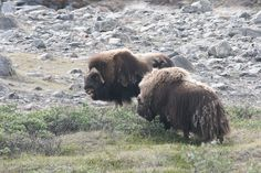 Musk oxen, Kangerlussuaq | Flickr - Photo Sharing!