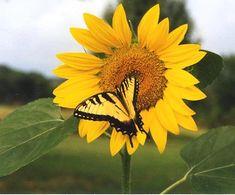 Sunflower - butterfly