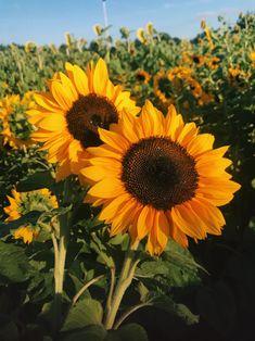 Sunflower Feild, Garden Fence Art, Field Wallpaper, Space Artwork, Sunflower Pictures, Sunflower Wallpaper, Pretty Wallpapers, Mural Art, Diy Painting