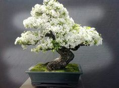Flowering Bonsai. Might be cherry or plum tree but can't be sure.