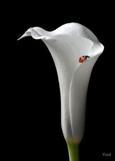 photo: Calla Lily and Ladybird  .... elegant lines and a sweet little bug ... ladybugs are sometimes sold by the hundreds so gardeners can keep other harmful bugs at bay ....