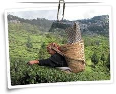 Incredibleindia-tourism.org is Govt Approved Tour Operator in India provides complete information for Darjeeling Tour. Contact our experts for best and customize tour packages for Darjeeling.