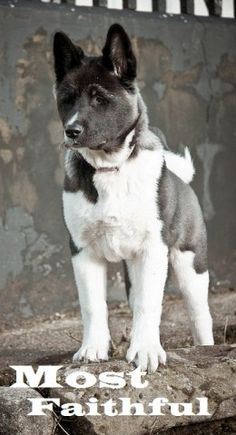 Hachiko the Akita was a faithful dog and many of us remember the Akita as one of the most faithful dog breeds. Akita Puppies, Akita Dog, Dogs And Puppies, Doggies, Beautiful Dogs, Animals Beautiful, Cute Animals, Wild Animals, I Love Dogs