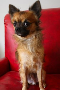 Meet Boss, a 1 year old 8 pound Chihuahua mix. He's a little guy with a big personality. He's an extremely lovable little lap dog. It takes him a minute to warm up to you but give him a treat and you have a friend. He's crate trained, housebroken...
