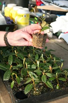 Growing from Seed Rhododendron Growing Peonies, Growing Flowers, Planting Flowers, Succulents Garden, Garden Plants, Pruning Rhododendrons, Rhododendron Care, Camellia Plant, Woodland Garden