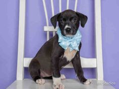06/25/15-HOUSTON-This DOG - ID#A435917  I am a spayed female, black and white Labrador Retriever mix.  The shelter staff think I am about 8 weeks old.  I have been at the shelter since Jun 17, 2015.  This information was refreshed 28 minutes ago and may not represent all of the animals at the Harris County Public Health and Environmental Services.